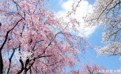 樱花灿烂(赏图)