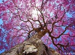 精神家园:花树