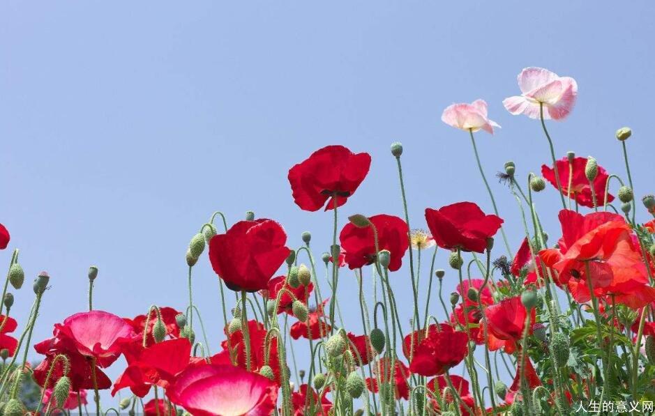 热烈的罂粟花田|哪里有罂粟花种子卖?