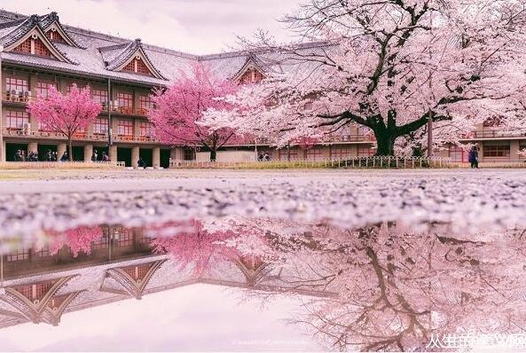 日本奈良雨后樱花 恍如隔世